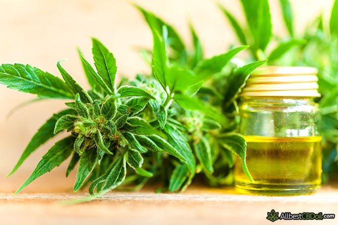 Best CBD oil for diabetes: a hemp plant and a jar of CBD oil.