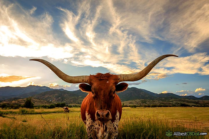 CBD oil Texas: an ox standing in a field.